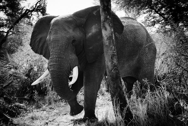 Rencontre avec un éléphant, Ile de Hunda, Delta de l'Okavango, Botswana.